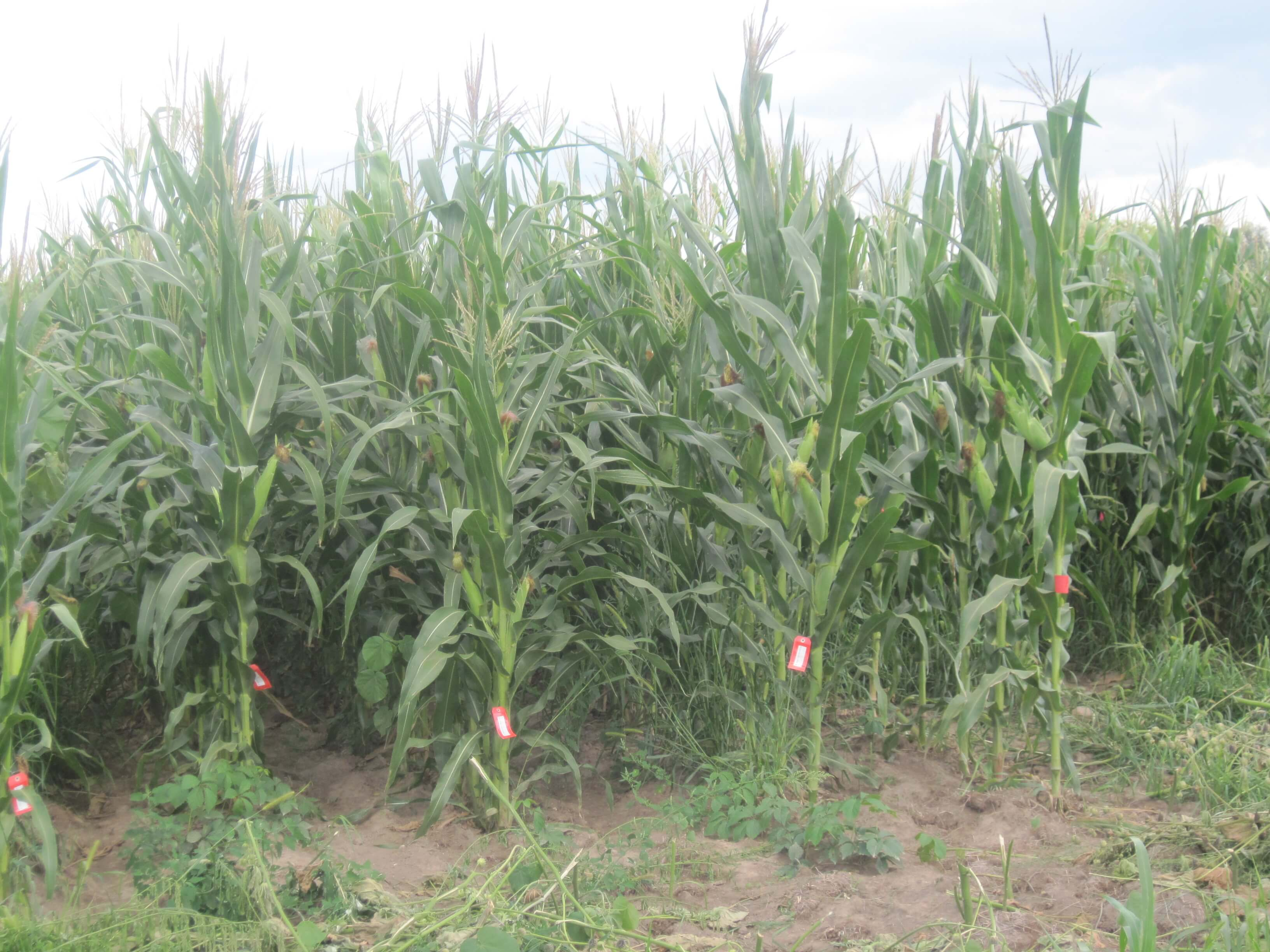 Robust Mandaamin Institute open pollinated variety
